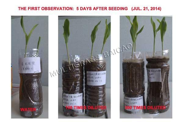 Seedling with Bailu 4, what the roots expect for!